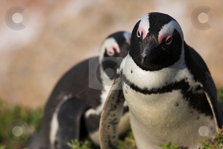Jackass Penguin #25 stock photo, Jackass Penguins (Spheniscus demersus) from the Simons Town Colony, Western Cape, South Africa by Sean Nel