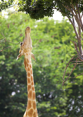 Stretching Giraffe stock photo, Young giraffe (Giraffa Camelopardalis) stretching up to reach leaves on a tree by Sean Nel