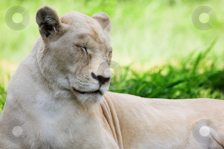 White Lion #1 stock photo, Dozing white lion (Panthera Leo), South Africa by Sean Nel