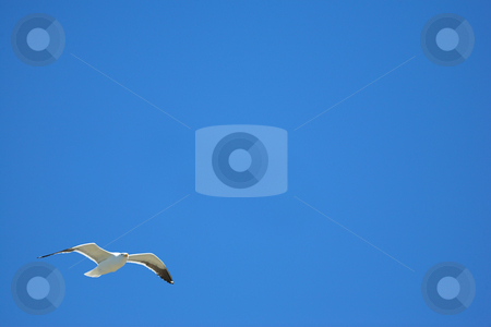Seagull #20 stock photo, Cape Gull (Larus Vetula) soaring, sun shining through feathers - Blue Copy Space by Sean Nel