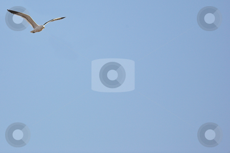 Seagull #4 stock photo, Cape Gull (Larus Vetula) soaring against blue sky - Copy Space by Sean Nel