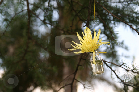 Yellow star flower stock photo, Yellow sunburst in a bottle by Sean Nel