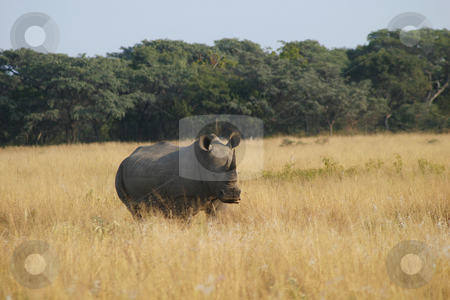 Waiting rhino stock photo, Rhino standing alone in the veld by Sean Nel