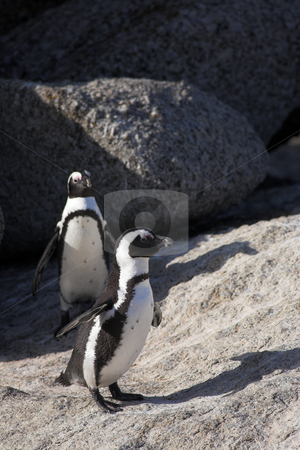 Jackass Penguins on the rocks stock photo, A couple of Jackass Penguins (Spheniscus demersus) from the Simons Town Colony, Western Cape, South Africa by Sean Nel