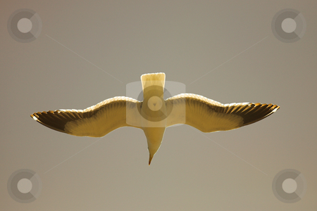 Seagull agains a sunset sky stock photo, Cape Gull (Larus Vetula) soaring, sun shining through feathers by Sean Nel