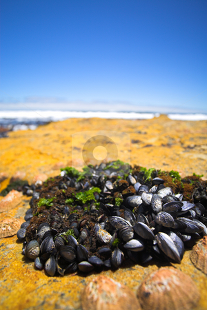 Cluster of mussels stock photo, Cluster of young mussels and other shells on a rocky beach next to the ocean (shallow Depth of Field) by Sean Nel