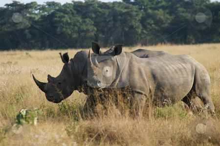 Two rhinoceros stock photo, Two rhinos in the early morning sun by Sean Nel
