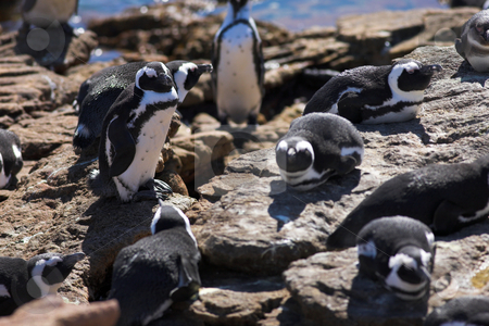 Jackass Penguin #8 stock photo, Jackass Penguins (Spheniscus demersus) from Stoney Point, Western Cape, South Africa by Sean Nel