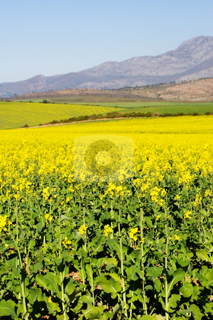 Farm #4 stock photo, Field of Flowers - Western Cape, South Africa by Sean Nel