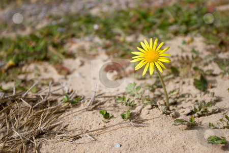 Flower #1 stock photo, Little yellow dessert flower by Sean Nel