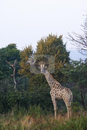 Giraffe stock photo, Giraffe in the bush by Sean Nel