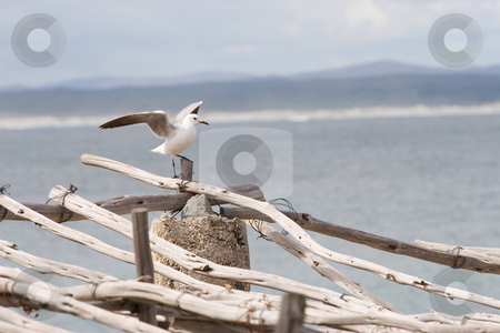 Bird #13 stock photo, Seagull sitting on wooden post - copy space by Sean Nel