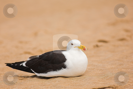 Seagull on the beach stock photo, Cape Gull (Larus Vetula) brooding on a beach - Copy Space by Sean Nel