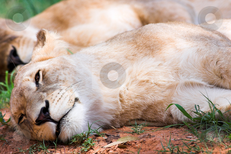 Two lionesses resting stock photo, Lioness (Panthera Leo) lying down in the grass, South Africa by Sean Nel