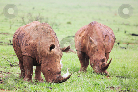 Mud encrusted rhinoceros eating green grass on a rainy day stock photo, Two young rhinos feeding on fresh green grass in the Rietvlei Dam nature reserve in South Africa. It by Sean Nel