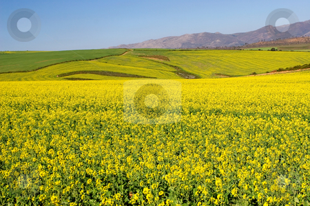 Farm #8 stock photo, Field of Flowers - Western Cape, South Africa by Sean Nel