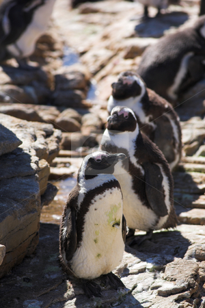 Jackass Penguin #2 stock photo, Jackass Penguins (Spheniscus demersus) from Stoney Point, Western Cape, South Africa by Sean Nel