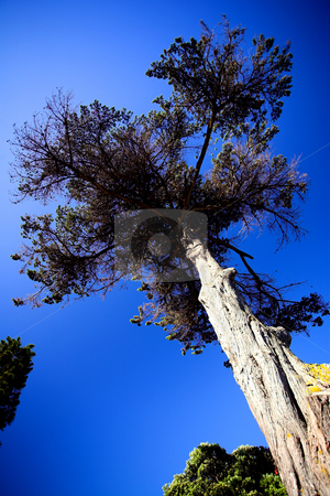 Tree against a blue sky stock photo, Tall tree against a blue sky  by Sean Nel