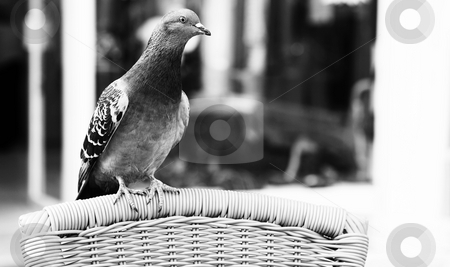 Antibes #185 stock photo, A pigeon on a chair, begging.  Shallow D.O.F.  Black and white.  Copy space. by Sean Nel