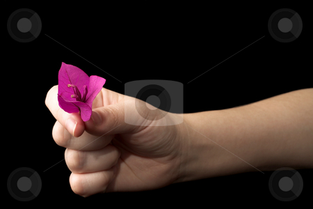 Hands #12 stock photo, Hand holding a  purple flower by Sean Nel