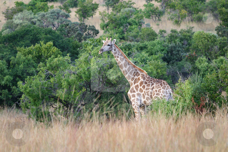 Giraffe stock photo, Giraffe in the bush by Sean Nel