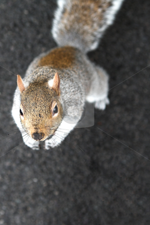 London#6 stock photo, Squirrel looking up.  Shallow D.O.F. by Sean Nel