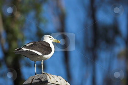 Seagull #2 stock photo, Cape Gull (Larus Vetula) perched on a stand in sunlight - Copy Space by Sean Nel
