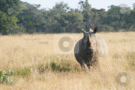 Rhino ready to charge stock photo, Rhinoceros staring at the gameranger by Sean Nel