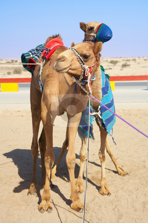 Robot controlled camel racing stock photo, Robot controlled camel racing in the desert of Qatar, Middle East. Racing camels warming up in the morning sun by Sean Nel