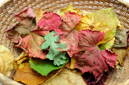 Autumn Leaves stock photo, Colorful leaves in a wicker basket including Oak, Grape, Maple and Cherry by Lynn Bendickson
