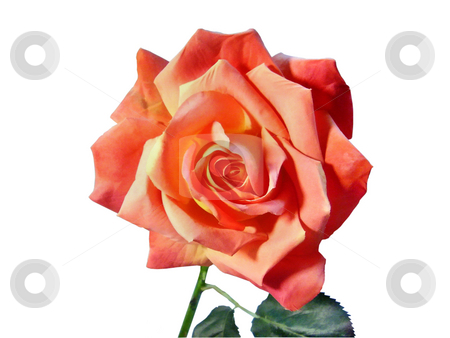 Rose on a white background stock photo, Rose on a white background by Sergey Gorodenskiy