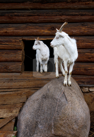 Goat and the kid stock photo, White goat with the kid, standing on a stone about a shed. by Vladimir Blinov