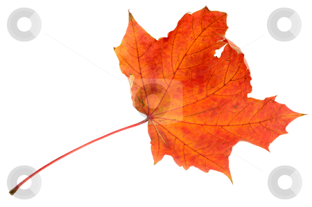 Red maple leaf, large DoF stock photo, Red maple autumn leaf on a white background by Vladimir Blinov