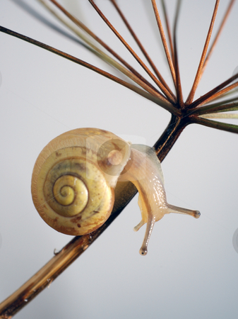 Abrupt turn stock photo, Overland snail on a dry plant, turn downwards. by Vladimir Blinov