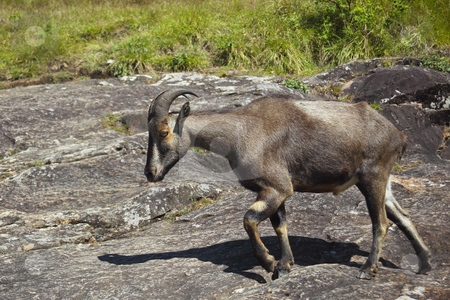 A rare and endangered nilgiri tahr stock photo, A rare and endangered nilgiri tahr nilgiritagus hylocrius on a rocky outcrop in eravikalum national park endemic to the southern portion of the western ghats in the states of tamil nadu and kerala in southern india the state animal of tamil nadu by Mike Smith