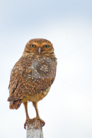 Burrowing Owl stock photo, Burrowing owl on a fence post. Athene cunicularia - Strigidae. by Francisco Putini