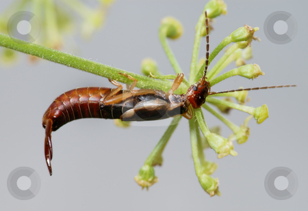Earwig  stock photo, Earwig on a flower, bent under her weight. by Vladimir Blinov