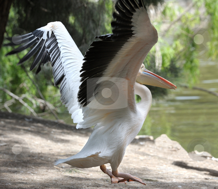 Pelican  stock photo, Pelican stretch their wings, flying over the shore of the lake. by Vladimir Blinov