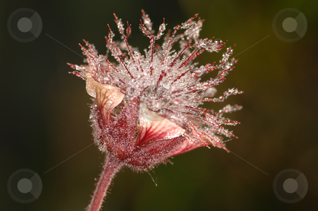Flower in dew stock photo, Flower Geum early in the morning on a meadow in dew drops. by Vladimir Blinov