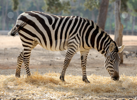 Zebra  stock photo, A strip of black, a strip of white - zebra in a zoo. by Vladimir Blinov