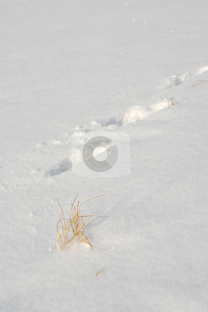 Footprints in the snow  stock photo, The tops of the plants sticking out of the snow and footprints. by Vladimir Blinov