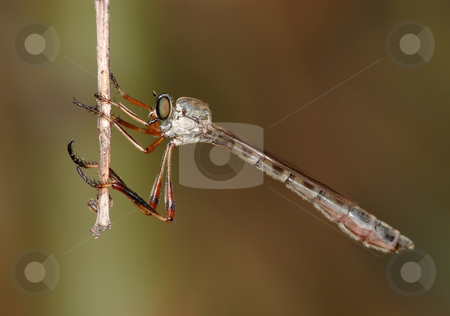 Little robber fly stock photo, Predatory robber fly (Asilidae) of small size with a thin body. by Vladimir Blinov