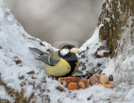Titmouse stock photo, The titmouse takes a nut. by Vladimir Blinov