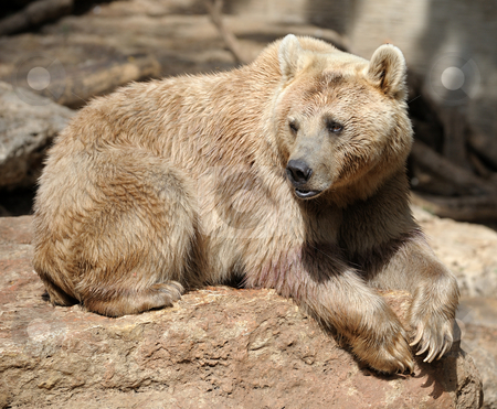 Bear  stock photo, Syrian bear with light fur at the zoo by Vladimir Blinov