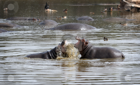 Hippopotami - rivals. stock photo, Tournament hippos in the lake in the zoo. by Vladimir Blinov