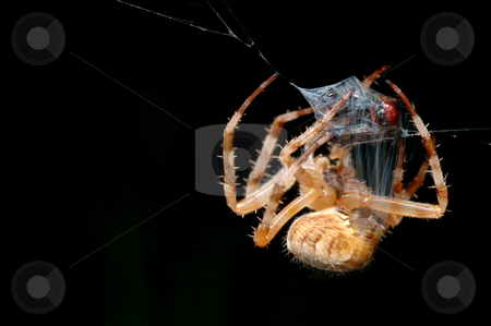Mastery packaging stock photo, Spider wraps the prey caught in a cocoon. by Vladimir Blinov