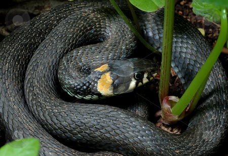 Grass-snake  stock photo, Grass-snake lay, curled in the grass on the bank. by Vladimir Blinov