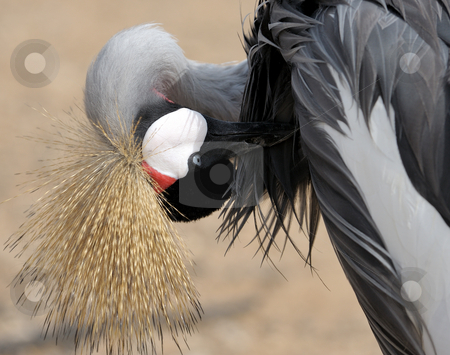 Crowned Crane cleaning feathers. stock photo, Crowned Crane cleans the feathers on the lake, close-up. by Vladimir Blinov