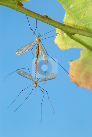Two mosquitoes stock photo, Pairing of mosquitoes (Tipulidae) on a tree branch, a kind against the sky. by Vladimir Blinov
