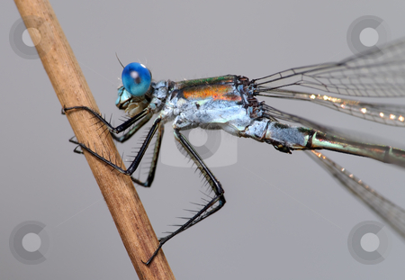 Dragonfly close  stock photo, Close-up of a dragonfly Lestes, cling to a straw. by Vladimir Blinov